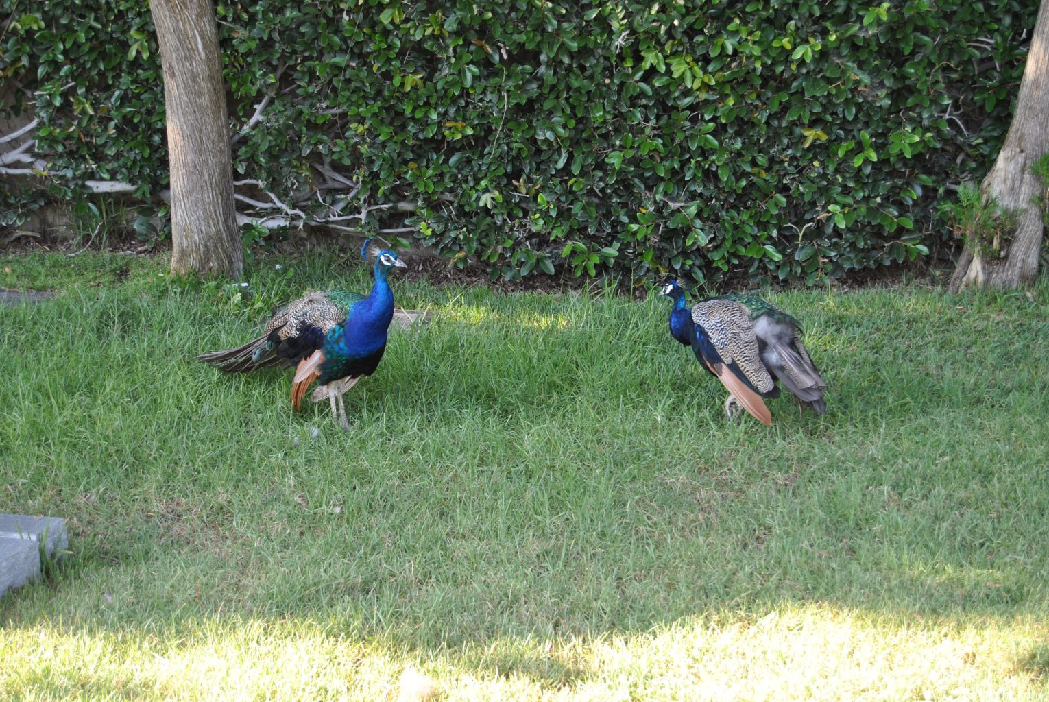 Pavos reales de Hollywood Forever