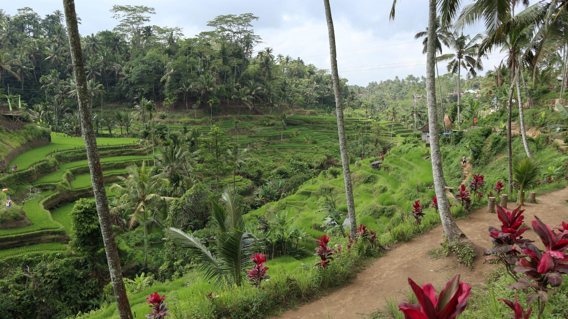 Arrozales de Tegallallang. qué ver en Ubud