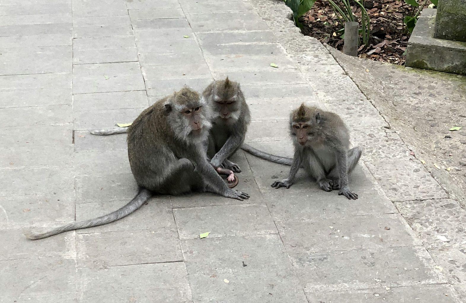 Monos en reunión. Ubud Monkey Forest