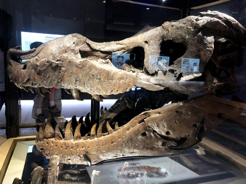 Cráneo original de Sue. Field Museum