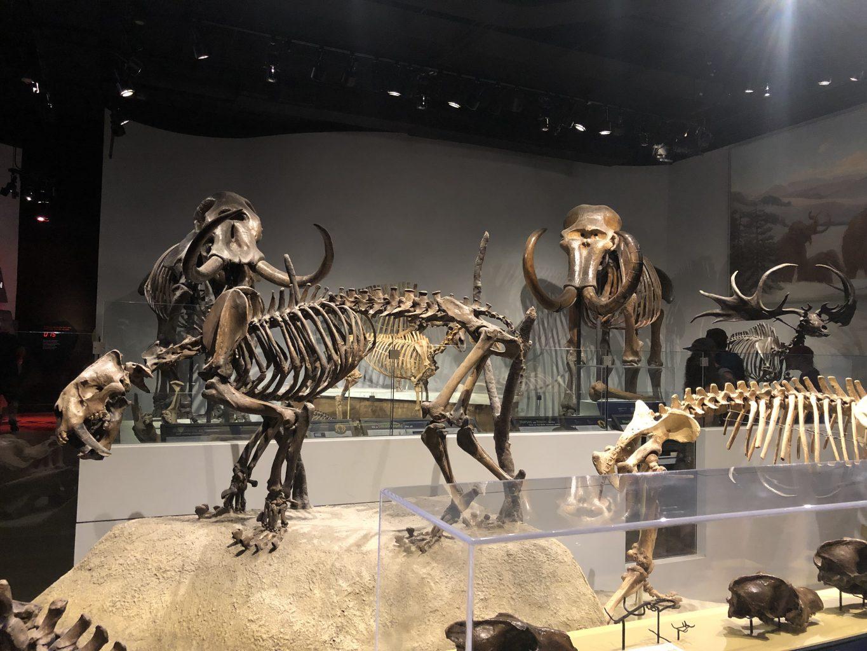 fósiles de animales extintos. Field Museum