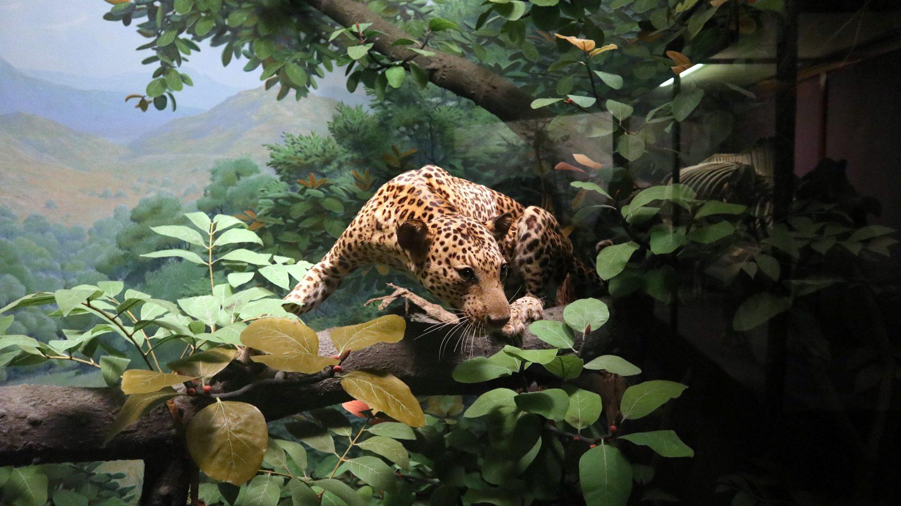 Leopardo disecado. Field Museum