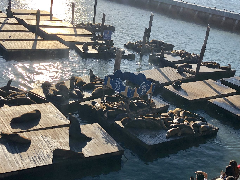 Leones marinos en Pier 39. Qué ver y hacer en San Francisco